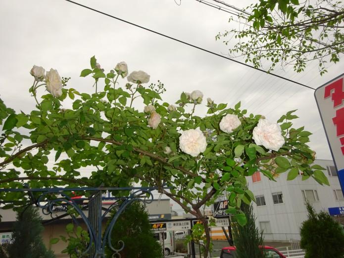 和ホームの白いバラ